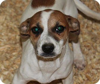 Beagle/Jack Russell Terrier Mix Dog for adoption in Harmony, Glocester, Rhode Island - Sprite