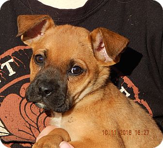 German Shepherd Dog/English Bulldog Mix Puppy for adoption in Sussex, New Jersey - Whirlwind (6 lb) Video!