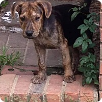 Adopt A Pet :: Samson - Hanover, PA