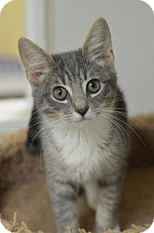 Domestic Shorthair Kitten for adoption in Atlanta, Georgia - Glenna 161829