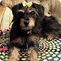 Havanese/Cairn Terrier Mix Dog for adoption in Victorville, California - Brownie