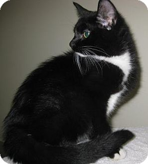 Domestic Shorthair Cat for adoption in Gary, Indiana - Precious