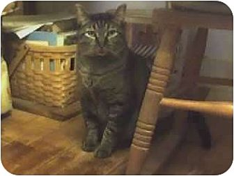 Domestic Shorthair Cat for adoption in Dyer, Indiana - George