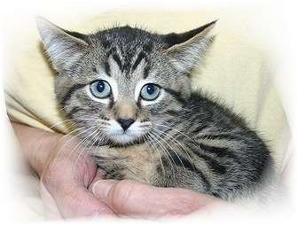 Domestic Shorthair Kitten for adoption in Montgomery, Illinois - Marijah