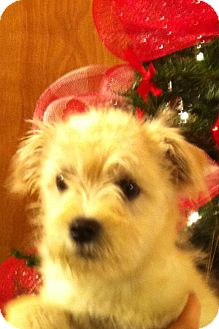 Schnauzer (Miniature)/Fox Terrier (Wirehaired) Mix Puppy for adoption in Manchester, Connecticut - Abbie - ADOPTION PENDING