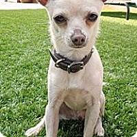 Adopt A Pet :: Joey - San Jose, CA
