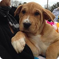 Adopt A Pet :: Marshmallow - Mount Laurel, NJ