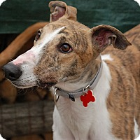Adopt A Pet :: Archie - Ware, MA