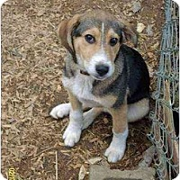 Adopt A Pet :: Shasta - Lincolndale, NY
