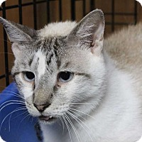Siamese Cat for adoption in Central Islip, New York - Ziggy
