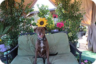 Labrador Retriever/American Staffordshire Terrier Mix Dog for adoption in Toluca Lake, California - Chocolate