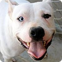 Pit Bull Terrier Dog for adoption in Memphis, Tennessee - Juno