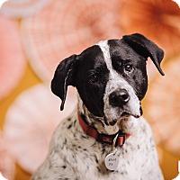 Adopt A Pet :: B.G - Portland, OR