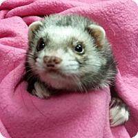 Adopt A Pet :: Dookah - Balch Springs, TX