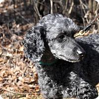 Adopt A Pet :: NIKO - Elk River, MN