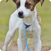 Adopt A Pet :: Thelma meet me 4/1 - Manchester, CT