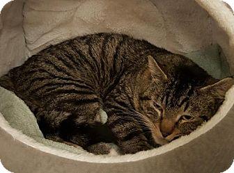 Domestic Shorthair Cat for adoption in Battle Ground, Washington - Big Boy