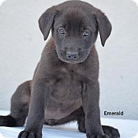 Adopt A Pet :: Emerald - Old Saybrook, CT