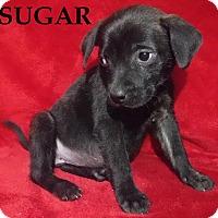 Adopt A Pet :: Sugar - Batesville, AR