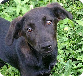 Labrador Retriever/Hound (Unknown Type) Mix Puppy for adoption in E. Greenwhich, Rhode Island - Anna Banana