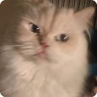 Adopt A Pet :: JInxie declaw - Glen cove, NY