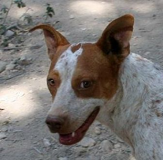 Cattle Dog/Australian Cattle Dog Mix Dog for adoption in Pipe Creek, Texas - Sally
