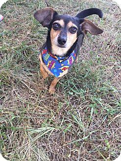 Chihuahua/Miniature Pinscher Mix Dog for adoption in Cincinnati, Ohio - Dumbo