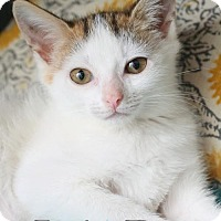 Adopt A Pet :: Lily Pie $85 Female Manx - knoxville, TN