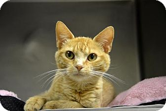 Domestic Shorthair Cat for adoption in Versailles, Kentucky - Billy the Kid