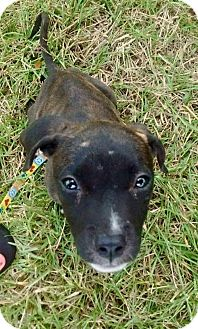 Staffordshire Bull Terrier Mix Dog for adoption in Lake Placid, Florida - Jasmine