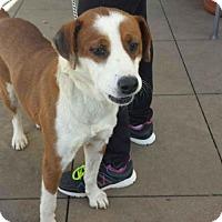 Collie/Labrador Retriever Mix Puppy for adoption in Dana Point, California - Casey
