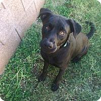 Adopt A Pet :: Justice - Mesa, AZ