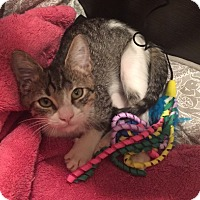 Domestic Shorthair Kitten for adoption in Delray Beach, Florida - Bengie