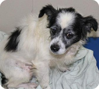 Jack Russell Terrier/Terrier (Unknown Type, Medium) Mix Dog for adoption in Hilton Head, South Carolina - Jeffery