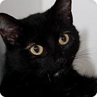 Domestic Mediumhair Cat for adoption in Camarillo, California - PRINCESS