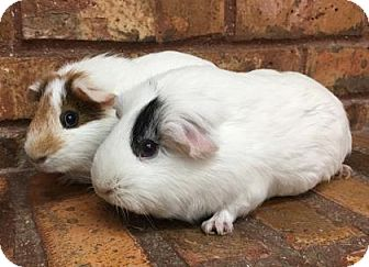 Guinea Pig for adoption in Benbrook, Texas - Willow and Patchy