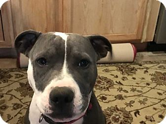 American Pit Bull Terrier Mix Puppy for adoption in Mustang, Oklahoma - Chewy