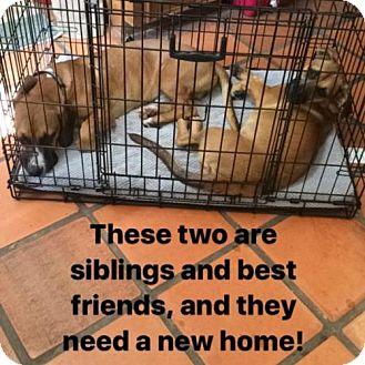 Basset Hound/Dachshund Mix Dog for adoption in Austin, Texas - Vlad
