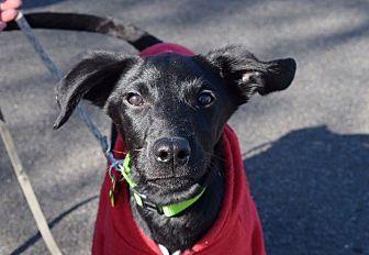Labrador Retriever/Whippet Mix Dog for adoption in Spokane, Washington - Arlo