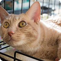 Adopt A Pet :: Mr Darcy - New York, NY