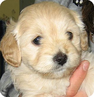 Shih Tzu/Poodle (Miniature) Mix Puppy for adoption in Thousand Oaks, California - Nala