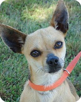 Chihuahua Mix Dog for adoption in Red Bluff, California - Finley