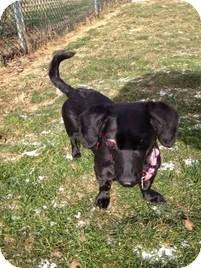 Dachshund Mix Dog for adoption in Wilmington, Massachusetts - Taffy