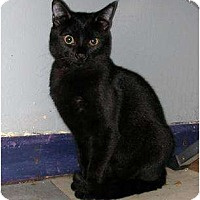 Domestic Shorthair Cat for adoption in Dallas, Texas - OLEG