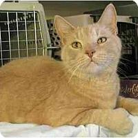 Adopt A Pet :: Tangie - Plainville, MA