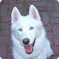 Adopt A Pet :: Binx - Grafton, MA