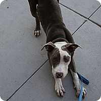 Adopt A Pet :: Larry - Gilbert, AZ