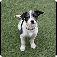 Adopt A Pet :: Mia - Rockwall, TX