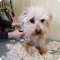 Adopt A Pet :: Petie - Antioch, IL