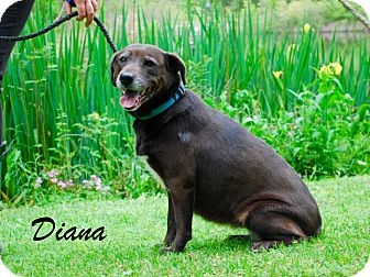 Labrador Retriever Mix Dog for adoption in Daleville, Alabama - Diana